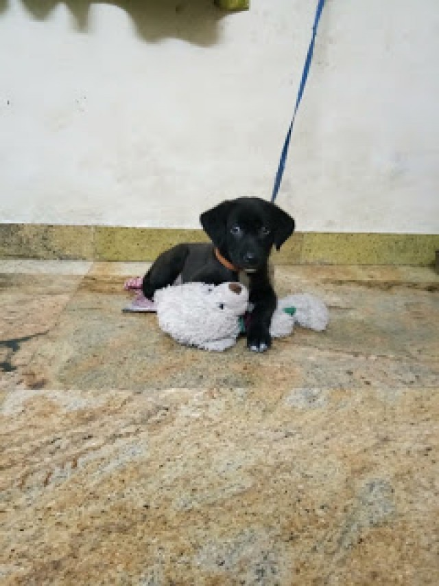 3 Month Labrador for Adoption