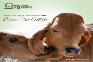 Purchase Milk of Gir Cow in Gurgaon | GFO Farming
