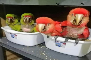 parrot chicks and eggs best price